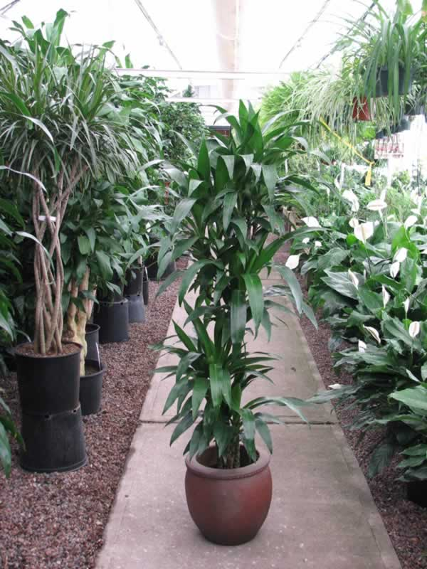 why are there so many varieties of dracaena botanic effects. Black Bedroom Furniture Sets. Home Design Ideas